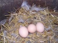 Яйцо куриное, домашнее.